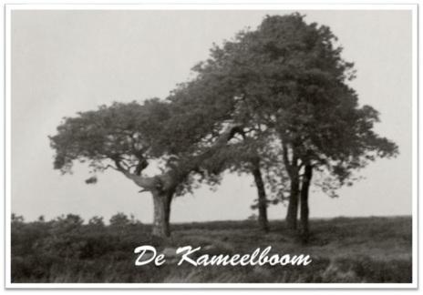 kameelboom